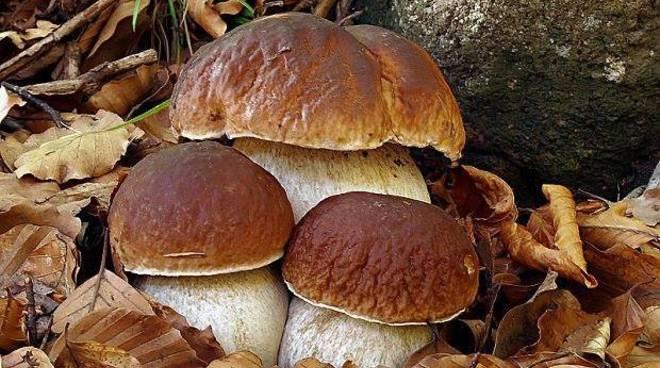 Funghi porcini - Comune di Crevacuore